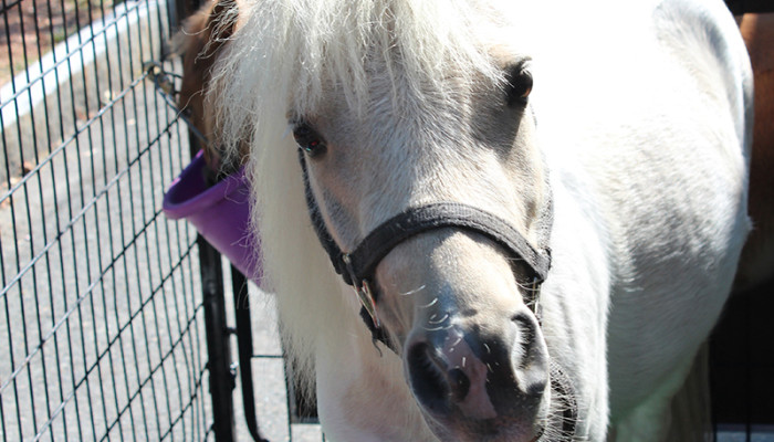 Picture of Newton the mini horse
